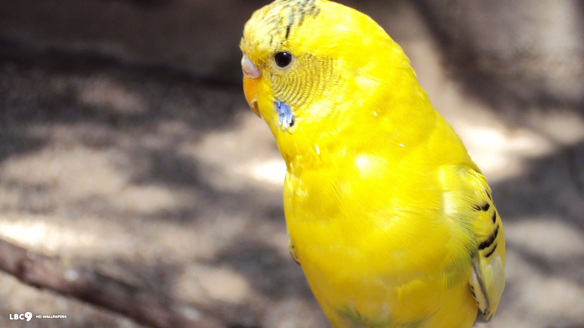 A yellow parakeet